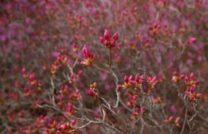 Krzewy_ozdobne_Korean_Rhododendron_Rhododendron_mucronulatum_