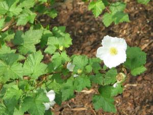 Krzewy_ozdobne_Rubus_Benenden_Wikimedia_Commons_Meneerke_bloem