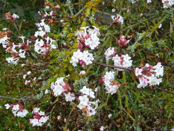 Krzewy_ozdobne_Viburnum_bodnantense_in_flower