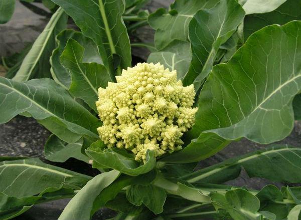 Warzywa ozdobne, kalafior Romanesco
