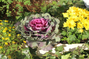 Warzywa ozdobne - kapusta ozdobna