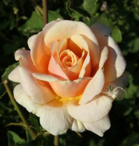 Jak dbać o róże latem