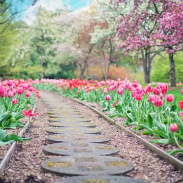 tulipany sciezka ogrod